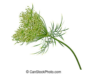 Wild Carrot Flower - Queen Annes Lace Wild Carrot Daucus...