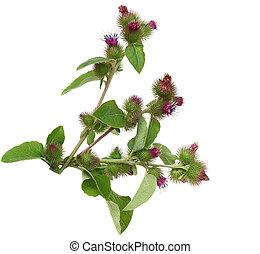 Great Burdock Flower - Great Burdock wild flower plant...