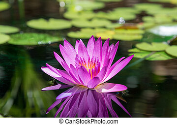 purple water lily reflecting in the water