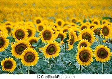 sunflower field tight crop