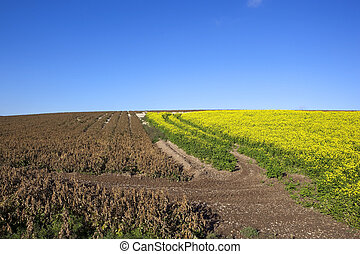 dessicated potato crop - a landscape with a potato crop that...
