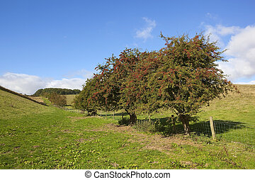 hawthorn hedgerow - an old hawthorn hedgerow in a green...