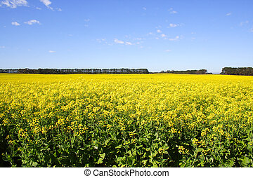 Canola field - Bright yellow Canola field