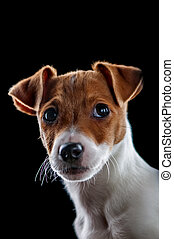 jack russel isolated on black