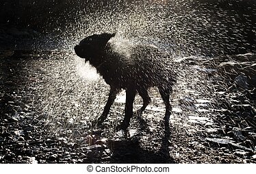 Dog Shaking Off Water - A Black Dog Shaking Off Water After...