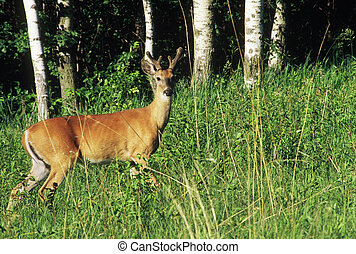 Whitetail Deer Buck In Summer