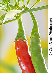 red and green chili at a plant
