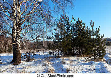 Winter lanscape with birch and pine