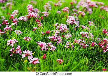 pink flowers at highland meadow - Wild plant of pink flowers...