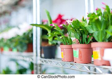 Schlumbergera in flower shop