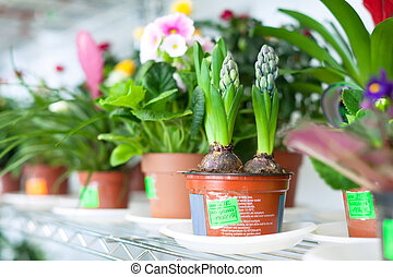 hyacinth plant in flower store