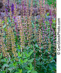 Mentha in bloom - Herb mentha with flowers in purple and...