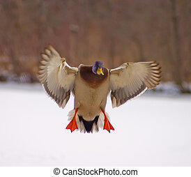 Mallard Duck Landing - Male Mallard Duck approaching for a...