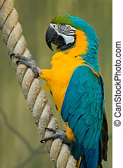 Colorful Macaw On A Rope - A beatiful Blue & Gold Macaw...