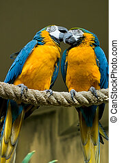 Blue Gold Macaw Couple - Two beatiful Blue Gold Macaw one is...