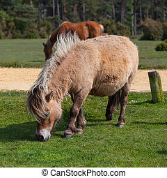 Wild pony in New Forest National Park