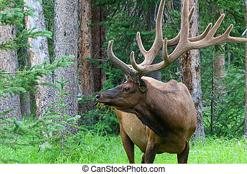 Large bull elk grazing in summer grass in Yellowstone -...