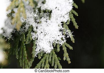 Snow on fir branches, macro