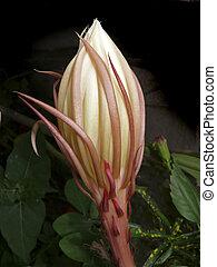 Bud of Dutchmans Pipe, Orchid Cactus, Hylocereus undatus