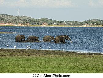 Taking a bath in a river - A herd of Sri Lankan elephant...