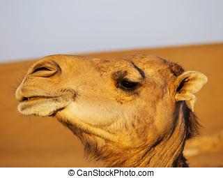 Camel in Morocco - Camel on Zagora Desert in Morocco, Africa