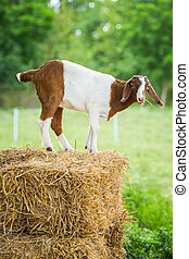 Goat in farm - Close up young goat in farm fron central of...