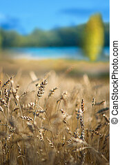 wheat field with lake