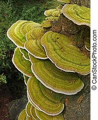 Bracket fungi, or shelf fungi, phylum Basidiomycota