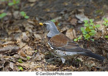 Fieldfare - fieldfare hunts on worms
