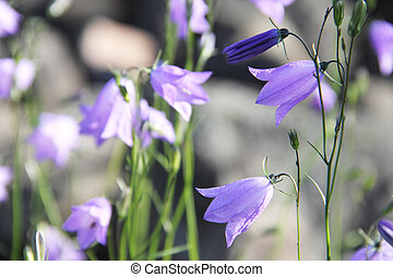 Campanula tatrae bell flowers wild outdoors