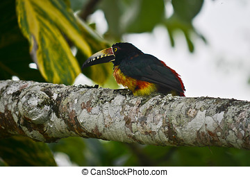 Collared Aracari - This bird was a regular visitor