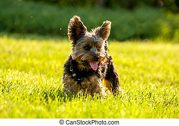 Yorkshire Terrier standing in the grass.