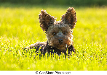 Yorkshire Terrier laying in grass.