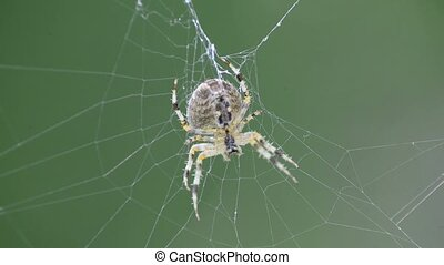 garden spider in a web