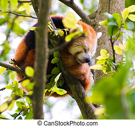 Red Panda - A Red Panda sleeping in a tree.