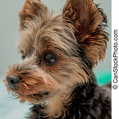 Yorkshire Terrier Portrait Photo Taken: May of 2013