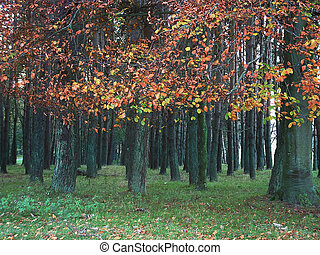 curragh woods in autumn - looking into curragh woods, county...