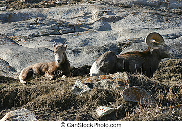 Mountain Goats - A pair of mountain goats sitting in Jasper...