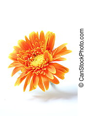 orange gerbera flower isolated on white - Beautiful orange...
