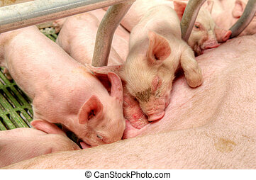 Baby piglet in a pigsty - Small and funny pink piglet in a...