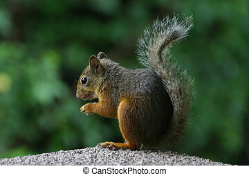 Japanese gray squirrel - A cute squirrel is having something...