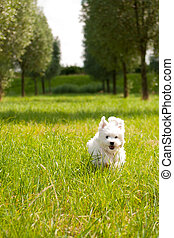 Maltese  - a maltese running through grass, outside