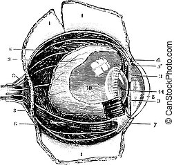 Cutting the antero-posterior eye, vintage engraving.