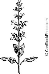 Sage or Salvia, vintage engraving - Sage or Salvia, vintage...