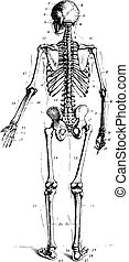 Skeleton, vintage engraving - Skeleton, rear view, vintage...