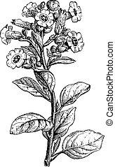 Rustica tobacco or Nicotiana rustica, vintage engraving -...