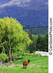 zagroda, Alpaka