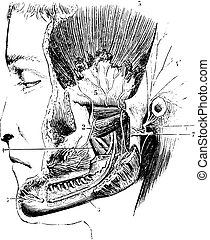 Lateral pterygoid or External pterygoid, vintage engraving....
