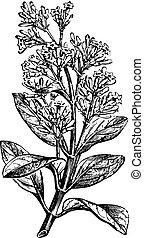 Cinchona calisaya (end a flowery branch), vintage engraving....