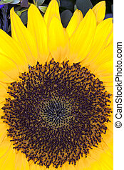 Sun Flower (Helianthus annuus) - Close up of a Sun Flower...